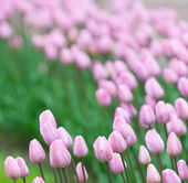 Pink tulips, very shallow focus — Stock Photo