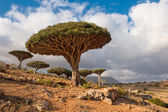 Dragon trees at Homhil plateau, Socotra, Yemen — Stock Photo