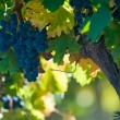 Stock Photo: Grape bunch, very shallow focus