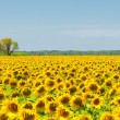 Royalty-Free Stock Photo: Sunflower field, Provence, France, shallow focus