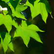 Green leaves, shallow focus — Stock Photo #9354013