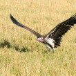 Foto Stock: Flying vulture, masai markenya