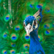 Close up image of peacock — Stock Photo
