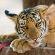 Stock Photo: Close up image of young tiger