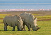 Neushoorns in nationaal park lake nakuru, kenia — Stockfoto