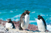 Rockhopper penguins — Stockfoto
