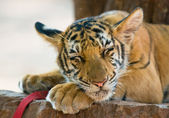 Close up image of young tiger — Stock Photo