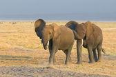 Elephants in amboseli national park, kenya — ストック写真