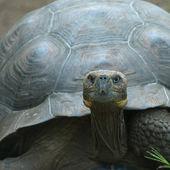 Giant turtle, galapagos islands, ecuador — Stock Photo