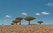 Dragos en la meseta de dixam, isla de socotra, yemen — Foto de Stock
