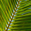 Leaf of coconut palm tree - Stock Photo