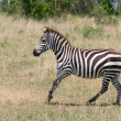 Running zebra, masai mara, kenya — Stock Photo #9379439