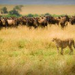 Cheetah hunting — Stock Photo #9379453