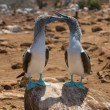 Stock Photo: Blue-footed boobies
