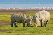 Rhinos in lake nakuru national park, kenya — Stock Photo