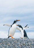 Gentoo penguins — 图库照片