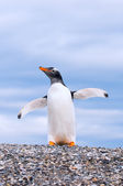 Gentoo penguin — Stockfoto