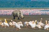 Rhino in lake nakuru national park, kenya — Stock Photo