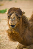 Camel's head — Stock Photo
