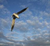 Gaviota sobre cielo nublado — Foto de Stock