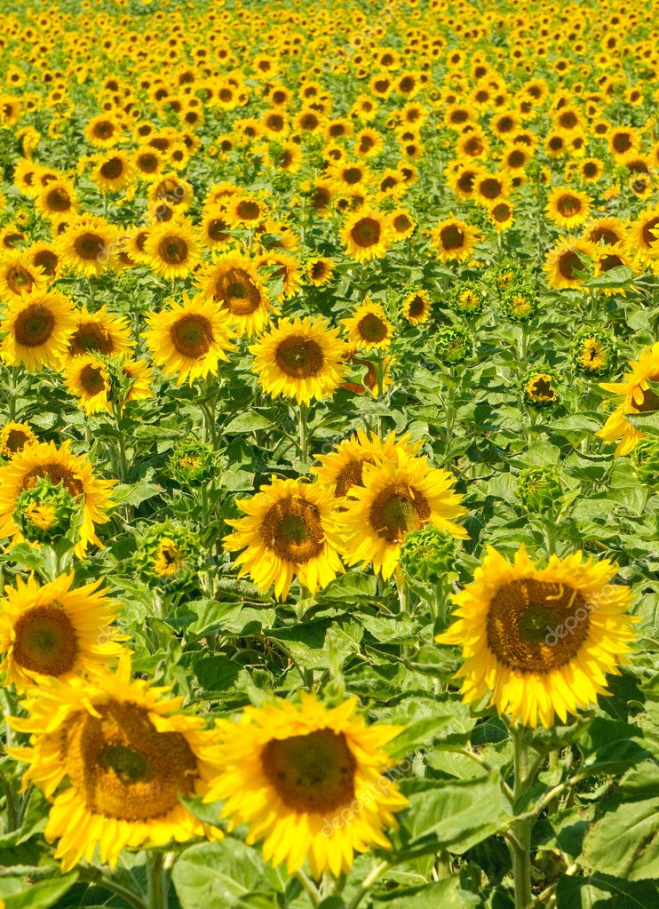 Sunflower field, shallow focus — Stock Photo #9388339
