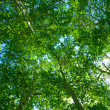 Summer background of green trees — Stock Photo