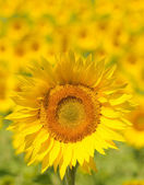 Close up of sunflower, shallow focus — Stock Photo