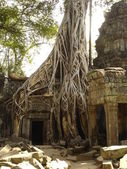 Banyan tree growing through ruins — Stock Photo