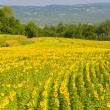 Sunflower field, Provence, France, shallow focus — Stock Photo #9451026