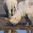Rhinos in lake nakuru national park, kenya — Stock Photo #9459133