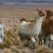 Royalty-Free Stock Photo: Llamas, focus on the kid, very shallow DOF