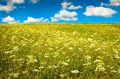 花が咲くと青い空と緑のフィールド — ストック写真