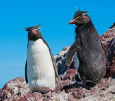 Rockhopper penguins — Foto de Stock