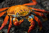 Red crab on the rock, galapagos islands — Stock Photo