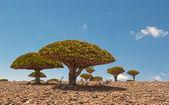 Dragon trees at Dixam plateau, Socotra Island, Yemen — Stock Photo
