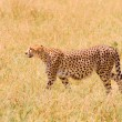 Cheetah in field — Stock Photo #9492365