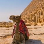 Camel next to pyramid in Giza, Cairo — Stock Photo