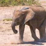 Elephant calf, amboseli national park, kenya — Stock Photo #9492434