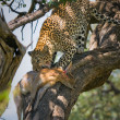Stockfoto: Leopard eating impala