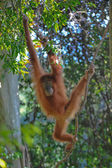 Sumatran orangutan — Stock Photo