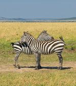 Two zebras, masai mara, kenya — Stock Photo