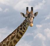 Head of giraffe over blue sky — Stock Photo