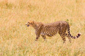 Cheetah in the field — Stock Photo