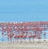 Flocks of flamingo — Stock Photo