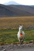 Llama, mountains of bolivia — Stock Photo