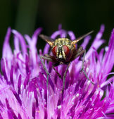 Fly sitting on a flower — Stock Photo