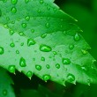Royalty-Free Stock Photo: Droplets on leaf - shallow focus