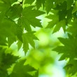 Green leaves, shallow focus — Stock Photo #9501595