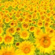 Stock Photo: Sunflower field, shallow focus