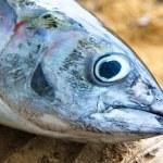 Head of tuna fish — Stock Photo #9503795